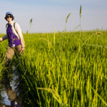 Yasmine Farhat in a rice field in Cambodia